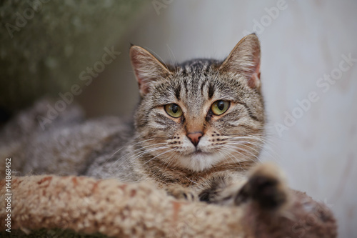 Portrait of the striped lying cat.