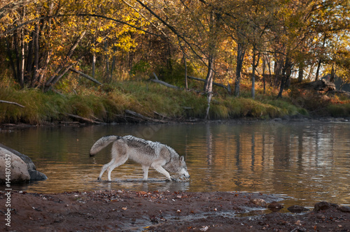 Grey Wolf (Canis lupus) Splashes in Water