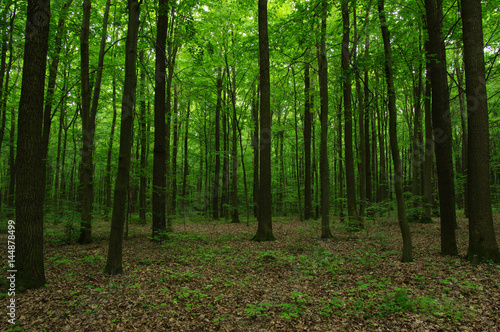 Trees in green forest - 144878499