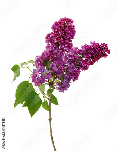 Lilac flower isolated on white Plakat