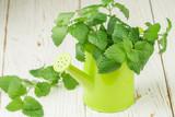 Organic Melissa. Sprigs of fresh lemon balm in a decorative vase. Spicy greens. Selective focus - 144882280