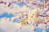 Color toned cherry blossoms, flowers against the cloudy blue sky, selective focus.