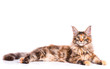 Portrait of domestic tortoiseshell Maine Coon kitten. Fluffy kitty isolated on white background. Adorable curious young cat lying down and looking away.