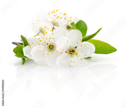 Cherry flower on white