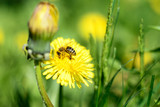 Honeybee and yellow flowers.