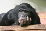 Chimp chimpanzee monkey ape (Pan troglodytes - common chimpanzee) sad thinking expression - 144913088