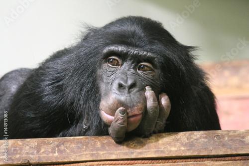 Foto op Canvas Aap Chimp chimpanzee monkey ape (Pan troglodytes - common chimpanzee) sad thinking expression