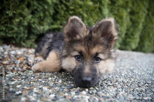 Poster German Shepherd Puppy