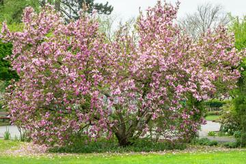 Magnolie im Park