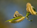 Two common blue butterflies, Polyommatus icarus, mate on spring Willow branch
