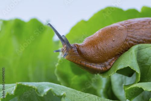Schnecke mit Salatblatt