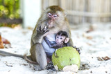 Monkeys mama and baby eating on a a beach, Thailand.
