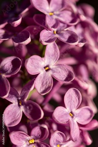 Closeup macro of purple lilac flower on the sunny brightness