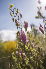 magnolienblüten im frühjahr, Magnoliaceae