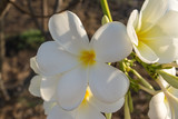 Plumeria is a genus of flowering plants in the dogbane family. Most species are deciduous shrubs or small trees. Common names for plants in the genus vary widely according to region.