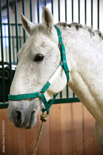 Poster Head shot of a young beautiful lipizzan in the stable