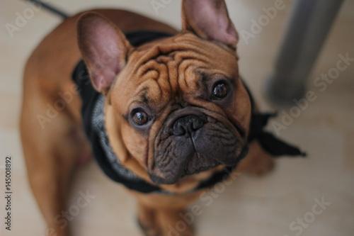 Fotobehang Franse bulldog Am I sweet?