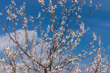 Flowering branches of wild apricot tree against blue spring sky
