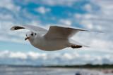 Mewa w locie nad Morzem Bałtyckim w Świnoujściu - 145020431
