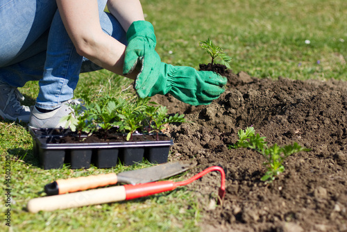 Póster woman with green gloves planted in a bed of small seedling, gardening in a spring