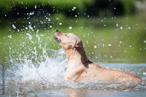 Beige pitbull terrier running out from water