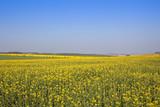 extensive oilseed rape crops