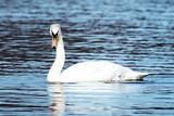 Swan looking at the camera