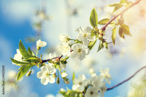 Spring background art white cherry blossom Poster