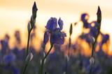 Fleur d'iris de couleur mauve, avec le soleil qui se leve en arrière plan.