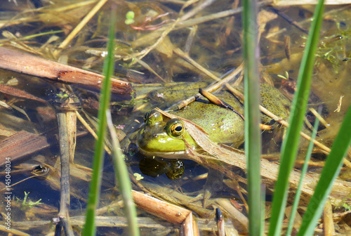 American bullfrog hiding in the pond reeds