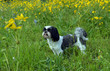 Deep in Thought/Purebred Shih Tzu standing in a field of yellow flowers.