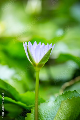 Lotus flower and green background Poster