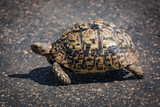 Tortoise walk on road Side matching tar surface colors
