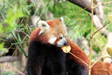 Roter Panda (Kleiner Panda) beim Fressen