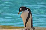 Bashful Gentoo Penguin Standing Beside Aqua Water