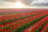 Beautiful field of colorful tulips at sunset