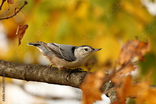 Nuthatch perched on tree branch and surrounded by Fall Foliage
