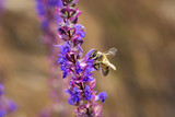 Bee on violet  and purple flower collecting pollen. Macro.
