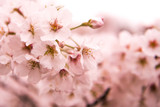 Cherry Blossom with Soft focus, Sakura season in japan,Background.
