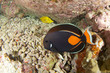 Achilles tang in hawaii