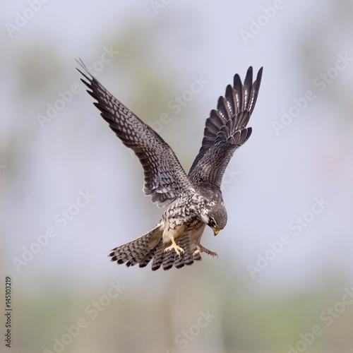 Poster Amur Falcon (Falco amurensis)