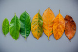 Leaves of different age of jack fruit tree on gray background. Ageing  and seasonal concept colorful leaves with flat lay and copy space. - 145103634