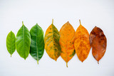 Leaves of different age of jack fruit tree on white background. Ageing  and seasonal concept colorful leaves with flat lay and copy space. - 145103641
