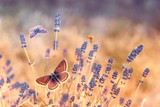 Butterfly flying over lavender, butterflies on lavender, beautiful nature in garden - 145111860