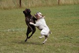 tanzende bulldoggen