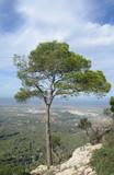 Baum an einem Felsen auf Mallorca