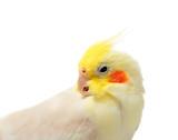 The parrot Cockatiel
