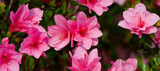 Banner of fresh bright pink azalea blossoms