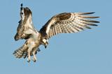 Osprey landing against a blue sky - 145138245