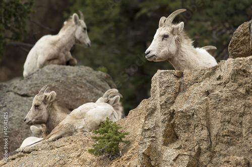 Bighorn sheep in Colorado Rockies Poster